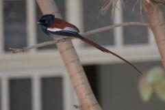 Graubrust-Paradiesschnäpper / African paradise flycatcher / Terpsiphone viridis
