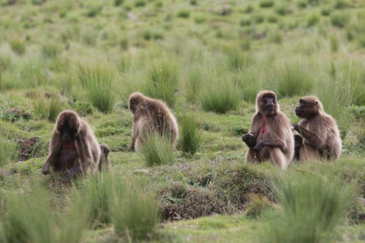 Blutbrustpavian, Dschelada / Gelada baboon / Theropithecus gelada