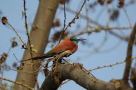 Scharlachspint / Northern Carmine bee-eater, Nubian bee-eater / Merops nubicus