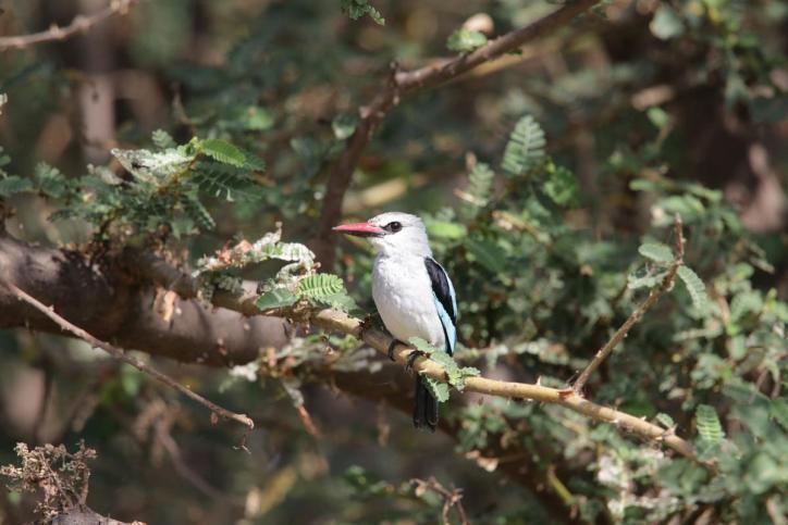 Senegalliest / Woodland kingfisher / Halcyon senegalensis