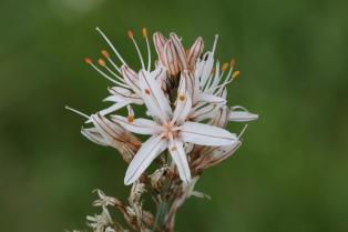Ästiger Affodill, Kleinfrüchtiger Affodill / Summer asphodel / Asphodelus ramosus, Asphodelus aestivus