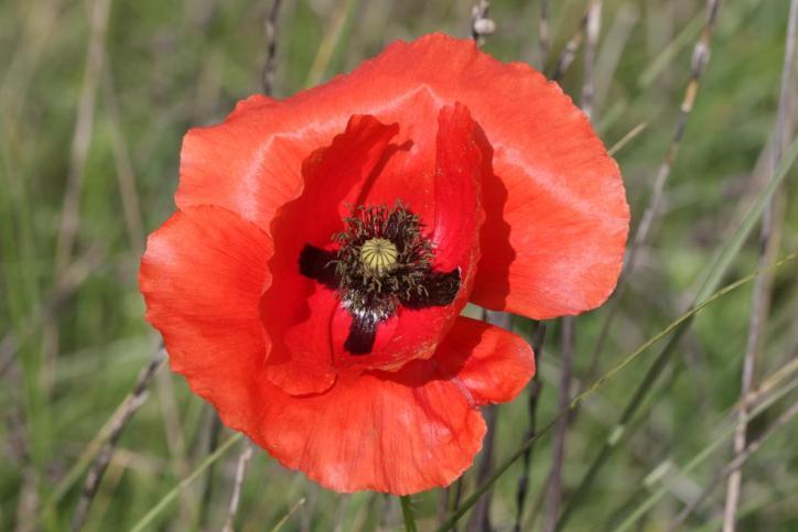 Klatschmohn / Common poppy, Flanders poppy, Red poppy / Papaver rhoeas