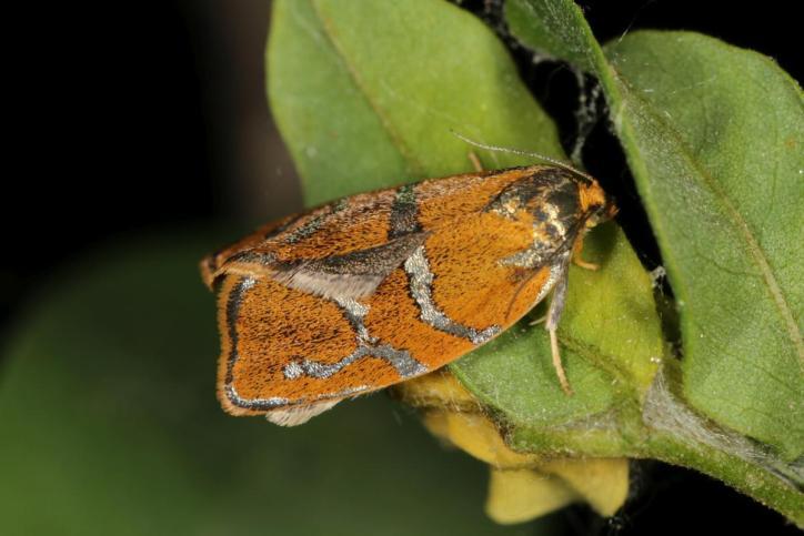 Ptycholoma lecheana