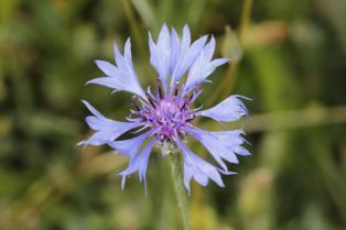 Kornblume, Zyane / Cornflower / Centaurea cyanus