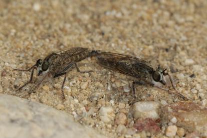 Raubfliegen / Robber flies / Asilidae