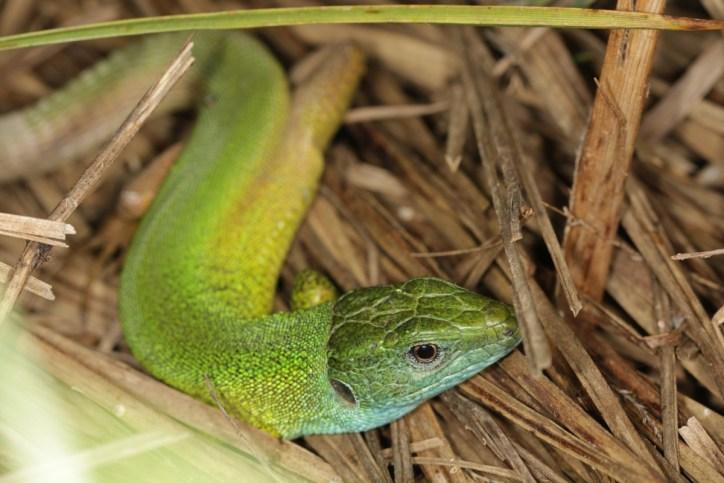 Östliche Smaragdeidechse / European green lizard / Lacerta viridis