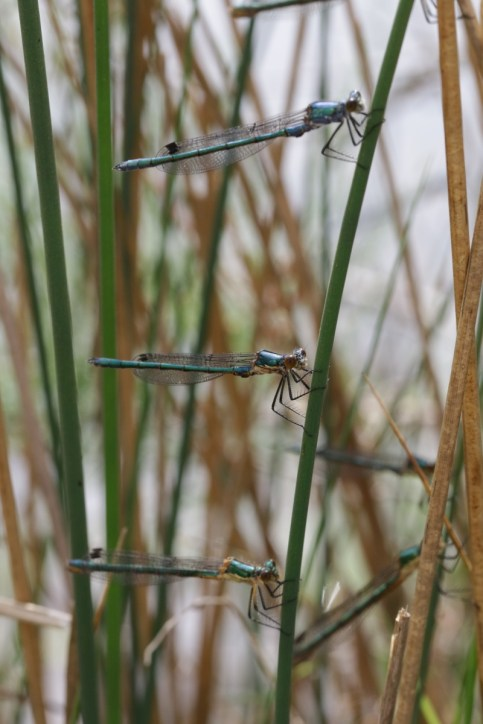 Kleine Binsenjungfer / Small emerald damselfly, Small spreadwing / Lestes virens ?