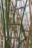 Kleine Binsenjungfer / Small emerald damselfly, Small spreadwing / Lestes virens ?