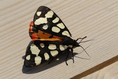 Schwarzer Bär / Cream-spot Tiger / Arctia villica