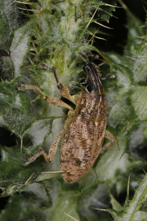 Distelgallenrüssler / Sluggish weevil / Cleonis pigra