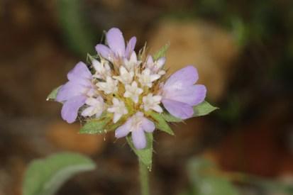 Palästina-Skabiose / Lomelosia brachiata
