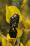 Gemeiner Rosenkäfer, Goldglänzender Rosenkäfer / Rose chafer / Cetonia aurata