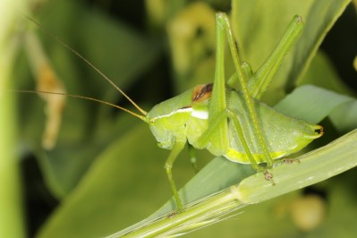 Laubheuschrecken / Katydids, Bushcrickets, Long-horned grasshoppers / Tettigoniidae