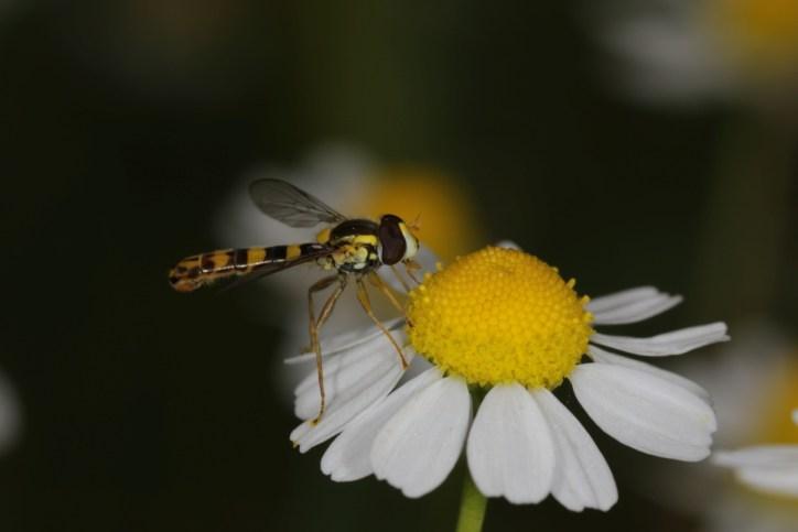 Gemeine Langbauchschwebfliege, Gemeine Stiftschwebfliege / Long hoverfly / Sphaerophoria scripta ?