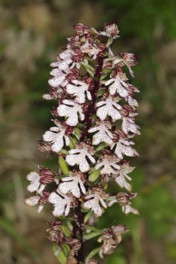 Purpur-Knabenkraut / Lady orchid / Orchis purpurea
