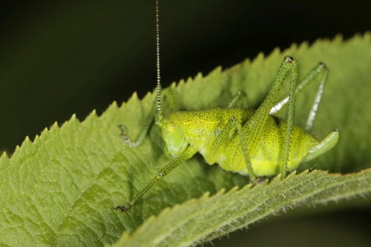 Sichelschrecken / False katydids / Phaneropterinae, female