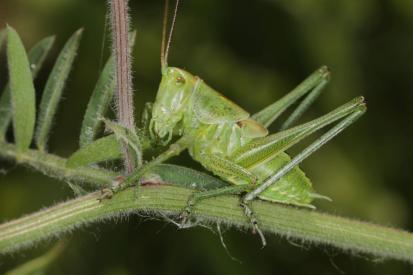 Punktierte Zartschrecke / Speckled bush-cricket / Leptophyes punctatissima ?