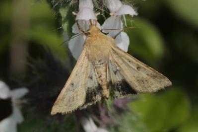 Spanner / Geometer moth / Geometridae