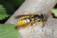 Echte Wespen / Social wasps / Vespinae
