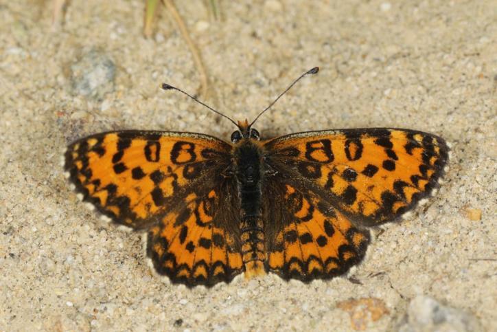 Bräunlicher Scheckenfalter / Lesser spotted fritillary / Melitaea trivia ?
