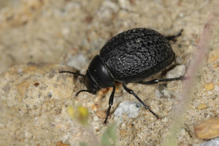 Schwarzkäfer, Dunkelkäfer / Darkling beetle / Tenebrionidae