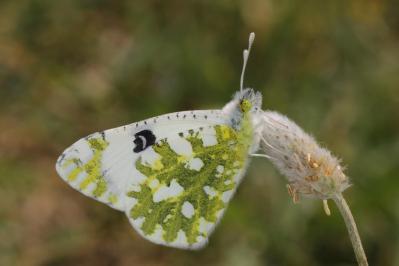 Östlicher Gesprenkelter Weißling / Eastern dappled white / Euchloe ausonia