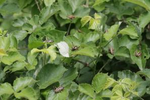 Alpen-Strauchschrecke / Pholidoptera aptera ?