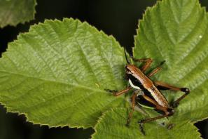Eupholidoptera megastyla, male
