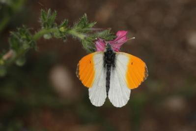 Aurorafalter / Orange Tip / Anthocharis cardamines