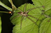 Listspinne, Brautgeschenkspinne / Nursery Web Spider / Pisaura mirabilis ?