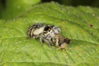 Springspinnen / Jumping spider / Salticidae