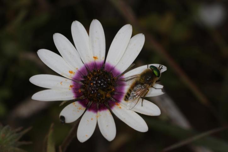 Rain Daisy / Rain Daisy, White African daisy, Cape marigold, Weather prophet, Cape daisy / Dimorphotheca pluvialis