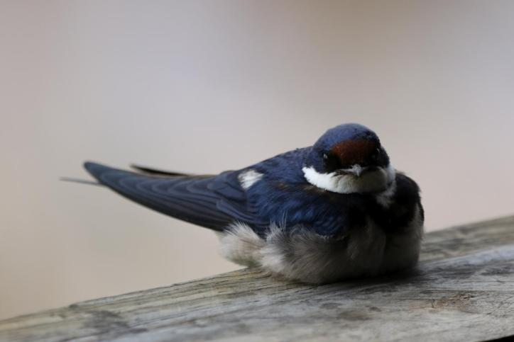 Weißkehlschwalbe / White-throated swallow / Hirundo albigularis