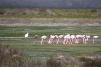 Zwergflamingo / Lesser flamingo / Phoeniconaias minor