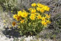 Korbblütler / Daisy family / Asteraceae