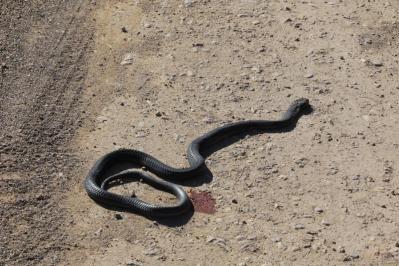 Maulwurfsnatter / Mole snake / Pseudaspis cana