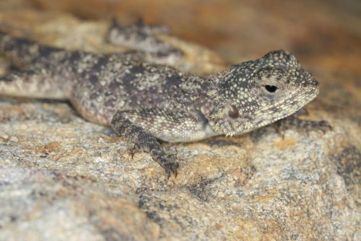 Blaukehlagame / Black-necked agama, Southern tree agama, Blue-throated agama / Acanthocercus atricollis
