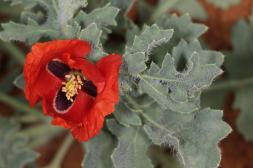 Mohngewächse / Poppy family / Papaveraceae