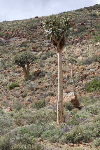 Giant quiver tree / Giant quiver tree, Bastard quiver tree / Aloe pillansii