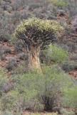 Köcherbaum / Quiver tree, Aloe dichotoma / Aloe dichotoma