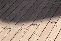 Augrabies flat lizard / Augrabies flat lizard, Broadley's flat lizard / Platysaurus broadleyi