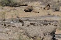 Klippschliefer / Rock hyrax, Cape hyrax, Rock badger, Rock dassie / Procavia capensis