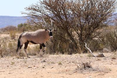 Spießbock / Gemsbok / Oryx gazella