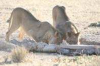 Transvaal-Löwe / Transvaal lion, South african lion / Panthera leo krugeri