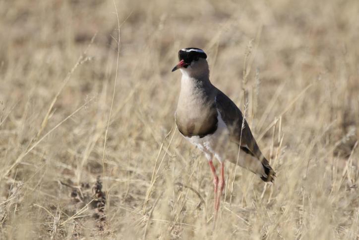 Kronenkiebitz / Crowned plover, Crowned lapwing / Vanellus coronatus