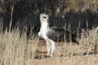 Kampfadler / Martial eagle / Polemaetus bellicosus
