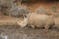 Südliches Breitmaulnashorn / Southern white rhinoceros / Ceratotherium simum simum