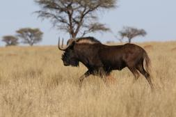Weißschwanzgnu / Black wildebeest / Connochaetes gnou