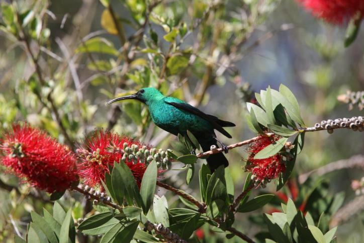 Malachit-Nektarvogel / Malachite Sunbird / Nectarinia famosa