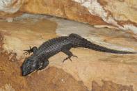 Schwarzer Gürtelschweif / Black Girdled Lizard / Cordylus niger